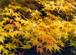 many shades of maple in Autumn, Westonbirt Arboretum