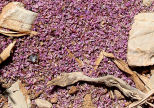 Symi - dried thyme petals: blown by the wind?  collected by ants?
