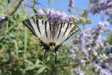 Symi - butterfly (of the swallowtail variety) on vitex bush close to the new astro-turf pitch behind Pedi