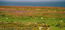 Skomer: nesting birds and spring flowers