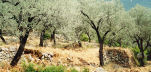 terraced olive grove, Greek Island of Nisyros