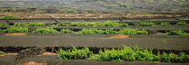 terraced vineyard, Lanzarote